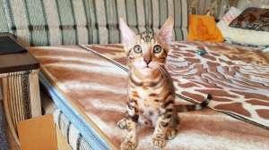 Бенгальская кошка. Бенгальские котята купить. Запорожье. - изображение 1
