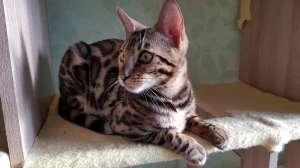 Бенгальская кошка (Бенгал) купить в Киеве - изображение 1