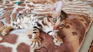 Бенгальская кошка Запорожье. - изображение 1