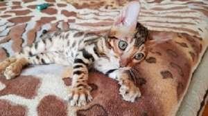 Бенгальская кошка Львов - изображение 1