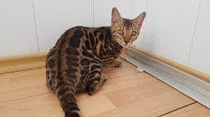 Бенгальские коты с клубными документами Одесса. - изображение 1