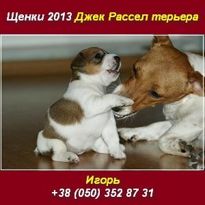 Джек Рассел терьер Щенки 2013 купить в Киеве - изображение 1