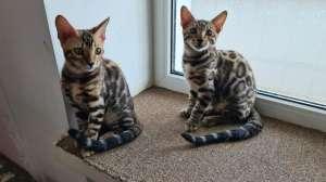 Красивые бенгальские чистопородные котята. - изображение 1