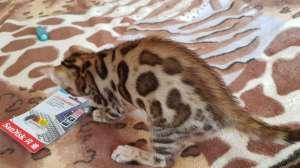 Купить бенгальского котенка с клубными документами. - изображение 1
