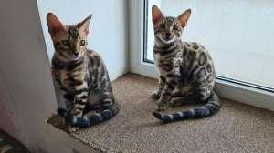 Купить бенгальского котенка Украина. Кошки бенгальской породы. - изображение 1