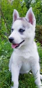 Купить щенка СИБИРСКОЙ ХАСКИ || щенок ХАСКИ (девочка) в Харькове. - изображение 1