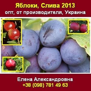Купить 2013 свежую сливу свежие яблоки опт Украина - изображение 1