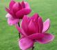 Перейти к объявлению: Магнолия 'КЛЕОПАТРА' / Magnolia 'CLEOPATRA' Гибрид Морозостойкий