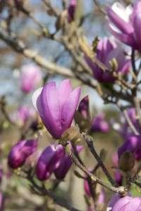 """Магнолия лилиецветная Лилиефлора Нигра ( Magnolia liliiflora """"Nigra"""") - изображение 1"""
