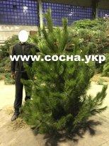Новогодние живые елки оптом со склада - изображение 1