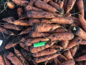 Опт морковь «Боливар» Ужгород. Предлагаем сотрудничество - изображение 1