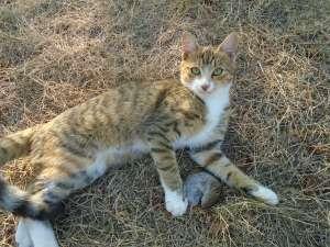 Отдаются котята от кошки-крысоловки - изображение 1
