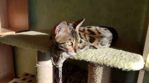 Продажа бенгальских котят из питомника Украина - изображение 1