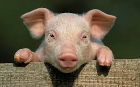 Продажа свиней Черкассы || КУПИТИ свиней жива вага 10/20/100 кг || От производителя!! - изображение 1