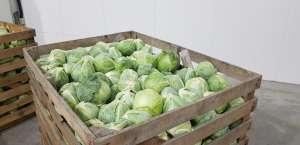 Продам овощи оптом Стрый. Продам капусту оптом дешево - изображение 1