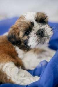 Продам щенков породы Ши-тцу. - изображение 1
