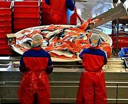 Работа на рыбном заводе в Норвегии ! - изображение 1
