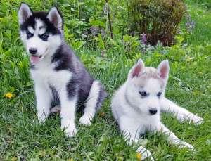 СИБИРСКИЕ ХАСКИ || Купить Девочку щенка Хаски в Харькове. - изображение 1