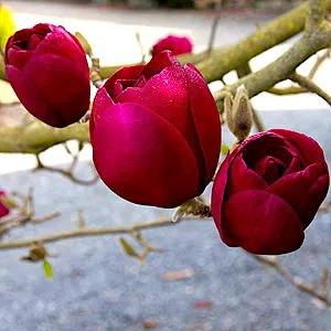 Magnolia Black Tulip, Магнолия Блэк Тюлип морозостойкая гибрид - изображение 1